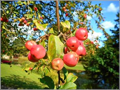 Crab Apples .. (** Janets Photos **) Tags: uk nature fruits apples trees