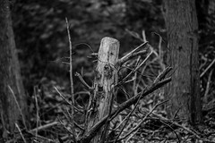 Spooky Tree (LauraJSwindle) Tags: nikond7100 longisland li 2016 ny flora 85mm newyork muttontownpreserve branches fall2016 wood blackandwhite spooky creepy eerie wantagh usa
