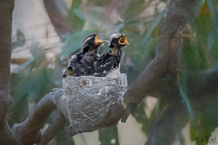 Hungry Willies DSC_4257 (BlueberryAsh) Tags: craigieburn nest williewagtail aitkincrk bird chicks babybird aitkin creek tamron150600 nikond500