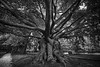 Lang Leven (chuanet) Tags: sonya7 cemetery groenesteeg availablelight daylight silent respect ilce7 canon1740mmf4l viltroxefnexii monochrome tree old beech fagussylvatica path branches roots graves begraafplaats