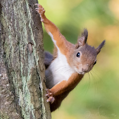 Red squirrel (jbreuilly) Tags: squirrel wales anglesey