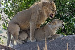 African Safari. Mating lions. (Lena and Igor) Tags: safari travel africa tanzania serengeti mating lions rock dslr nikon d5300 dx nikkor 18300