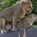 African Safari. Mating lions.