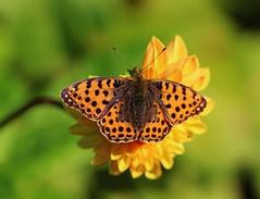 Perlmutterfalter (LuckyMeyer) Tags: butterfly orange dahlia makro summer garden flower fleur yellow green schmetterling insect sun fritillary