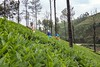 Tea estate, Avalanche- Ooty (Aravindan Ganesan) Tags: teaestate ooty avalanche workers landscapephotos landscape canon600d wideangle pov environmentalportrait