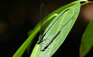 Damselfly - Silent Valley NP.