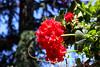 Temps de flors_0088 (Joanbrebo) Tags: girona catalunya españa es tempsdeflors tempsdeflors2017 flors flores flowers fleur fiori blumen blossom canoneos80d eosd efs1018mmf4556isstm autofocus