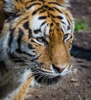 Amurtiger - Amur Tiger - Panthera tigris altaica -  Københavns ZOO - DK-8126