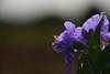 20170926_018_2 (まさちゃん) Tags: 紫露草 ムラサキツユクサ 雌しべ 雄しべ 雌蕊 雄蕊 光