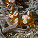 Squat Shrimp  - Thor amboinensis