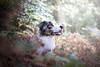 IMG_4476 (marine.benchao) Tags: dog berger australien wood leeroy sheperd bleu merle