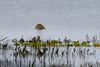 la grande marée. (Harald DUGENET) Tags: atlantique grandemarée préssalés salicornes limicoles submersion 红脚鹬 vogel oiseau bird tringatotanus chevaliergambette rotschenkel commonredshank bretagne limicole