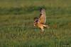 Velduil - Asio flammeus-3841 (Theo Locher) Tags: shortearedowl velduil sumpfohreule hiboudesmarais asioflammeus birds vogels vogel oiseaux belgium belgie copyrighttheolocher