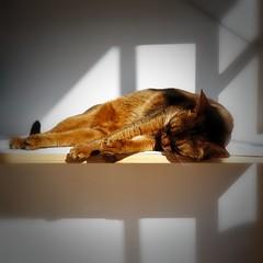 Lizzie and the Rolleicord (DizzieMizzieLizzie) Tags: xenar ektar abyssinian aby beautiful wonderful lizzie dizziemizzielizzie portrait cat chats feline gato gatto katt katze katzen kot meow pisica animal pet 2017 rolleicord square film 6x6 ektar100