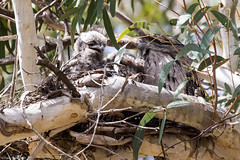 249A5514 (tonyclark468) Tags: tawny frogmouth anbg canberra act