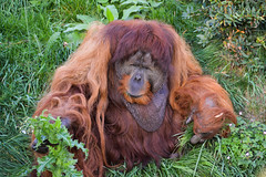 Sumatran Orangutan (Pongo abelii) (Seventh Heaven Photography) Tags: sumatran orangutan pongo abelii pongoabelii animal mammal primate critically endangered criticallyendangered nikond3200 puluh male chester zoo cheshire england