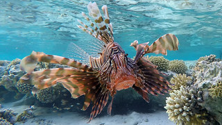 070. Coral reef and  Lion fish (Pterois antennata)