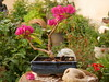 Bonsai Bougainvillea dream (stathisgian89) Tags: bonsai kalamata plant red tree pot decoration rock bougainvillea flower