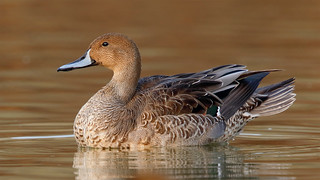 Northern pintail c