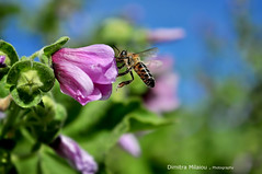 A beautiful day... (dimitra_milaiou) Tags: nature happy close up closeup macro color colour day blue green greece bee pink purple bokeh life love live alive name world planet earth photography andros island fly animals animal feed eat milaiou dimitra time ελλάδα ανδροσ μέλισσα λουλούδι flower europe d90 d 90 nikon beauty beautiful lovely nice moments joy happiness light bright natural φύση hellas honey wild