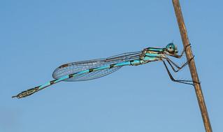 Blue Ringtail - Austrolestes annulosus