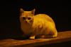 Gato costero (Contando Estrelas) Tags: gato gatito cat gatiño nigrán panjón panxón galicia españa spain