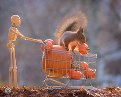 skeleton and squirrel with pumpkin shopping cart (Geert Weggen) Tags: shoppingcart redsquirrelstandswithapumpkinmarketstallautumn eurasianredsquirrel picnic squirrel agriculturalfair animalwildlife animalsinthewild basket business businessfinanceandindustry cardboard day dinner dirt eating farmersmarket food freshness fruit grass healthylifestyle homegrownproduce horizontal market marketstall meal nopeople old outdoors photography picnicbasket pricetag selling smallbusiness summer sweden table transportation working pumpkin halloween bird titmouse holiday geert weggen hardeko redsquirrelstandswithapump bispgården jämtland ragunda geertweggen