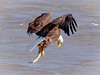 Checking its catch. (tresed47) Tags: 2017 201711nov 20171102conowingoeagles birds canon7d conowingo content eagle fall folder maryland november peterscamera petersphotos places season takenby us ngc