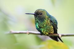 Chlorostilbon melanorhynchus (Wildlife and nature - Colombia) Tags: chlorostilbonmelanorhynchus westernemerald esmeralda esmeraldaoccidental hummingbird colibrí alexpareja