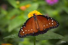Queen (jt893x) Tags: 105mm afsvrmicronikkor105mmf28gifed butterfly d810 danausgilippus insect jt893x macro nikon queen specanimal