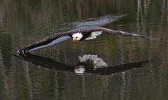 Bald Eagle (sspike@rogers.com) Tags: eagle bald raptor steverosi crc water canon