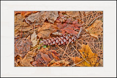 Fall (Summerside90) Tags: fall autumn october colours leaves pinecone nature wildlife ontario canada