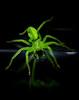 green huntsman spider (Mange J) Tags: 8 8legged k3ii magnusjakobsson micrommatavirescens pentax sverige sweden tamronspaf90mmf28 värmland beauty closeup creep green greenhuntsmanspider macro makro nature neon spider