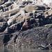 Sea lions at Marble Island, Glacier Bay National Park
