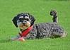 dog (piinklady) Tags: dog virginiawaterlake valleygardens smithslawn polo virginiawater piinklady nikonafnikkor70300mm1456gvr nikond7200