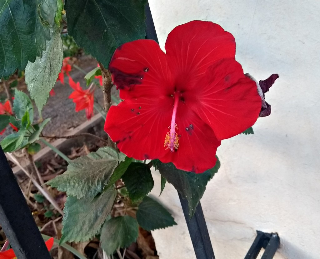 The worlds best photos of flor and origami flickr hive mind hibisco vermelho galeria fotografarte tags flor vermelho red flower fiore brazil brasil origami izmirmasajfo