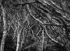 Tangled Forest (Cajas, Ecuador. Gustavo Thomas © 2017) (Gustavo Thomas) Tags: cajas nationalpark park bosque forest tangled enredado nature naturaleza mono monoart viaje travel trip voyage blackandwhite balncoynegro blancheetnoir bnw monochrome monocromático ecuador azuay southamerica sudamérica surreal