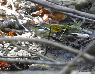 Black-throated Green Warbler_N7037
