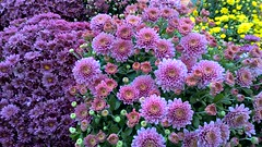 WP_20171004_15_53_01_Rich (PureView Life) Tags: nokia lumia 1520 nokialumia nokialumia1520 lumia1520 pureview carlzeiss windows windowsphone windows10 windows10mobile color flower flowers nature