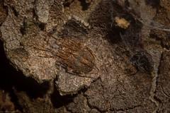 'Araneus' (dustaway) Tags: arthropoda arachnida araneae araneomorphae araneidae araneinae araneus orbweaver australianspiders spinne araignee spideronbark hunterregionbotanicgardens heatherbrae huntervalley centralcoast nsw australia nature