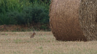 Brown Hare / Lièvre