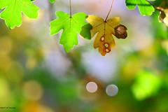 Feuille trouée (jpto_55) Tags: feuille automne xe1 bokeh fuji fujifilm omlens om135mmf28 hautegaronne france ngc