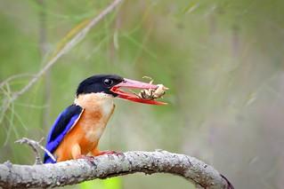 黑頭翡翠 / Black-capped kingfisher