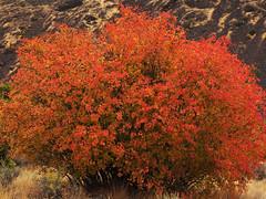 Acer glabrum -- Douglas'  Maple (podicep) Tags: acerglabrum douglasmaple sapindaceae umtanum yakimacanyon washington autumncolor awardtree