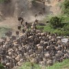 Wildebeest River Crossing - Masai Mara (stephenharvey66) Tags: wildebeest masaimara river crossing rivercrossing stampede