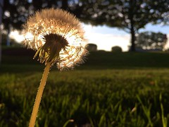 Dandelion (Bo Dudas) Tags: dandelion flower flowers outdoors outside garden hill farm grass field tree trees macro stem seed seeds color beautiful sunshine sunrise sunset composition bokeh focus peace fall autumn horizon sky sad