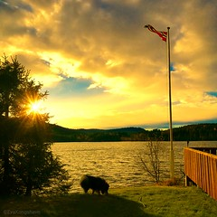 Aiko, a lake and the Norwegian pennant  Can it be better 😄 (evakongshavn) Tags: adventure goout getout getoutside lake water waterscape yellow flag grass landscapephotography natur nature naturbilder naturephotography naturelovers naturaleza naturphotography sunset sky