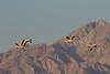 Flamingo with Jordanian mountains in the background (RonW's Nature Photography (thanks for over 1 milli) Tags: flamingo phoenicopterusroseus phoenicopterus roseus פלמינגו מצוי bird birds birdwatching birding aves israel animal wildlife nature canon 7dii 100400ii