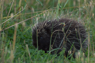 Spiky Rodent
