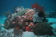 Coral reefs and bommies at Manta Sandy dive site in Raja Ampat, Indonesia (sarah.handebeaux) Tags: diving underwater ampat raja indonesia reef